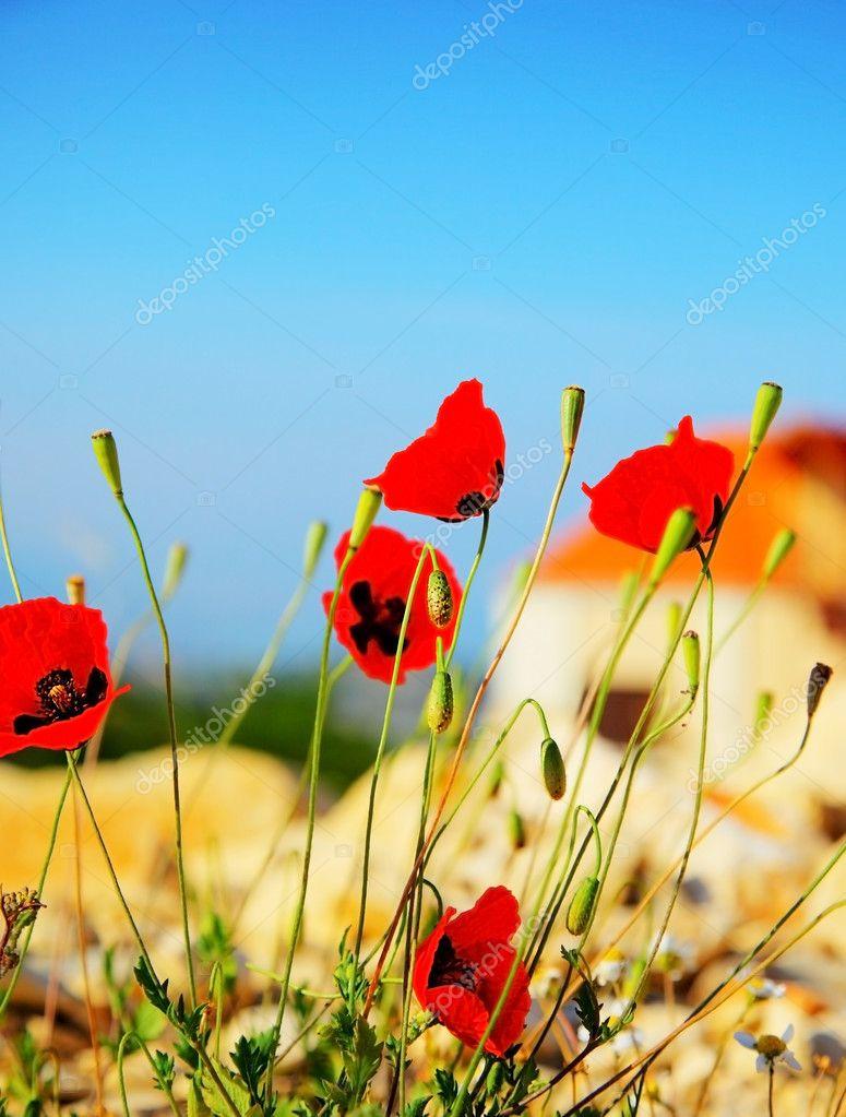 Prato di fiori di papavero — Foto Stock © Anna_Om #5522868