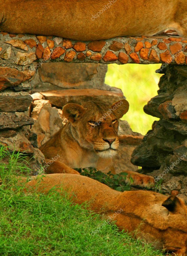 Portrait of wild lion