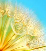 měkké pampelišky květiny