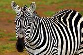 afrikai vadon élő zebra portréja