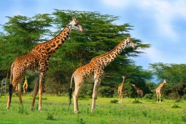 Family of wild giraffes on the lake Naivasha. Africa. Kenya stock vector