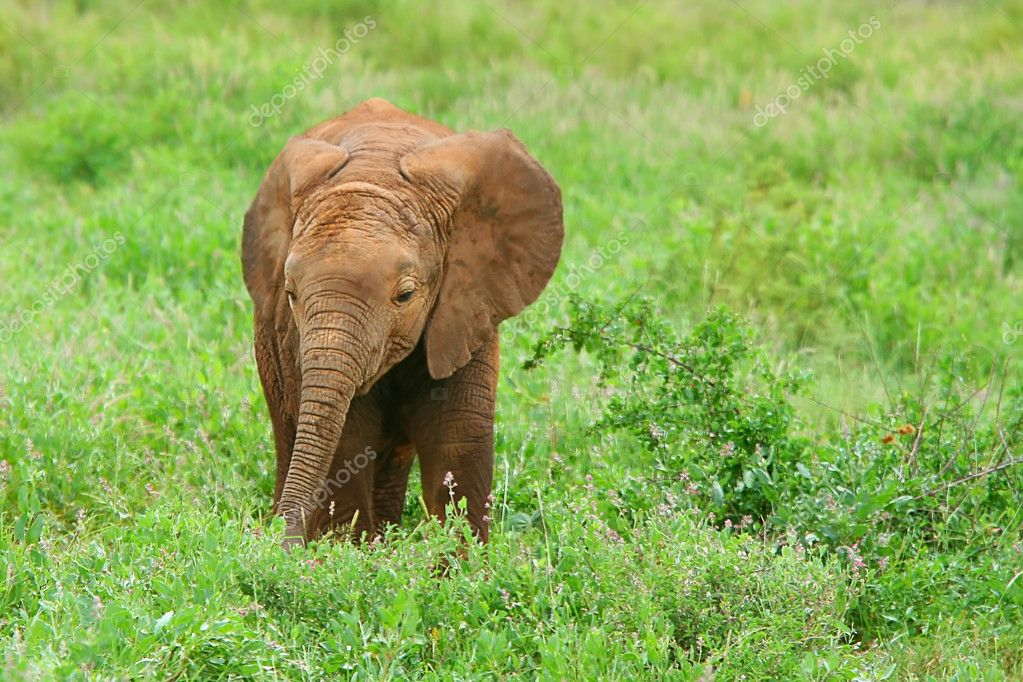 baby elephant in the wild stock photo anna om 5692729. Black Bedroom Furniture Sets. Home Design Ideas