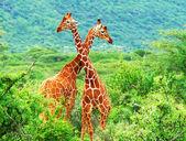 Fotografia lotta di due giraffe