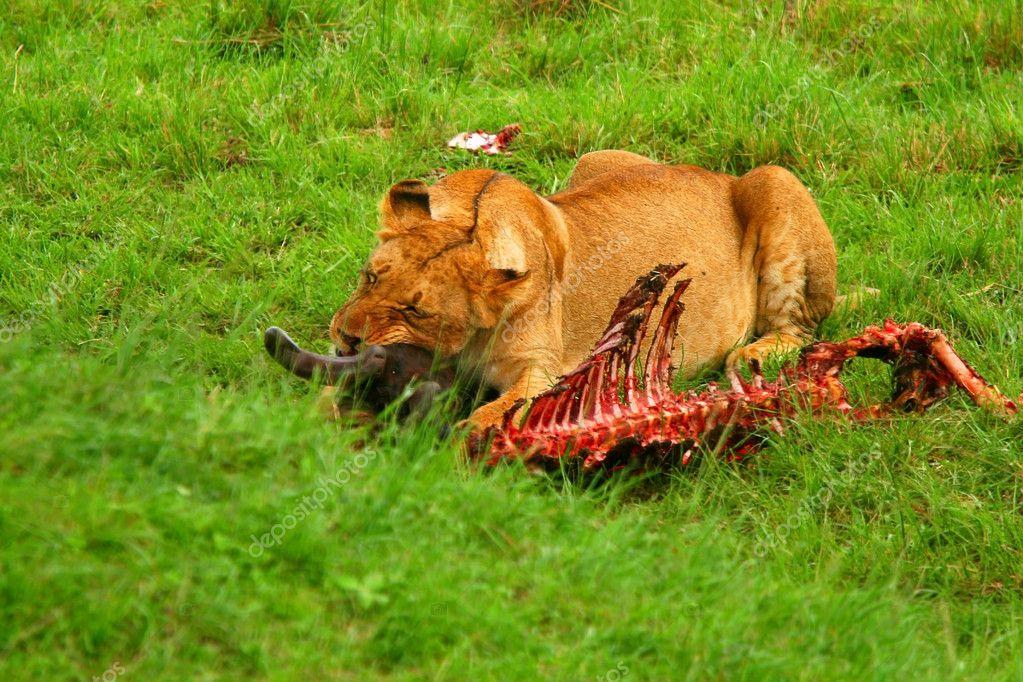 Wild africam lioness eating wildebeest
