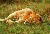 Divoké africké lvíče hraje