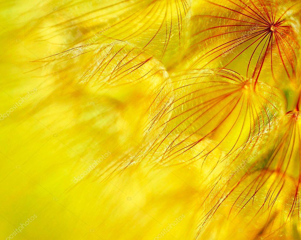 Abstract dandelion flower background
