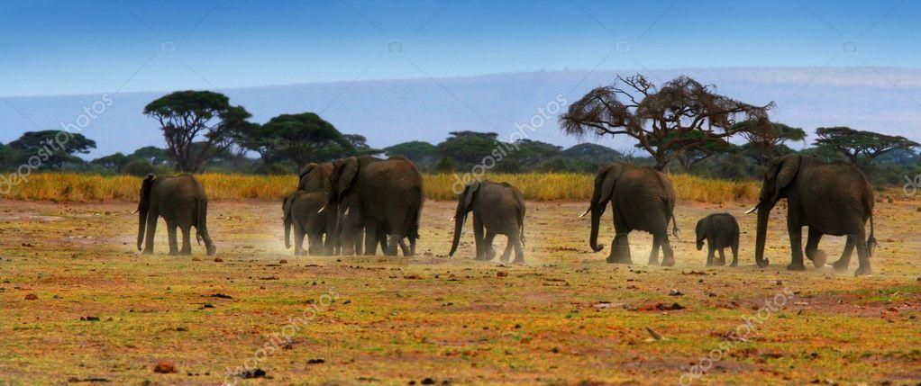 African wild elephants