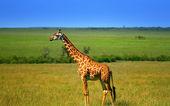 vadon élő afrikai zsiráf