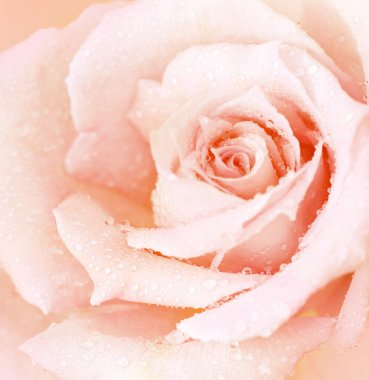 Pink wet rose background