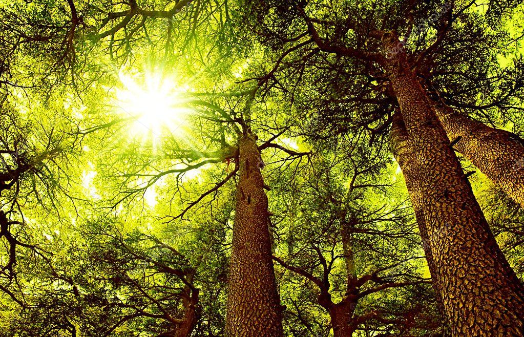 Фотообои Солнечный Кедровый лес