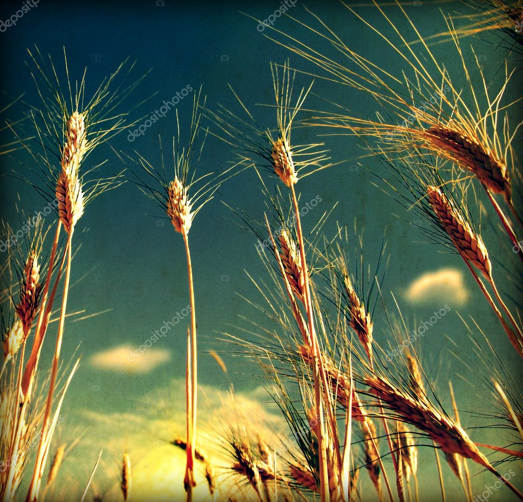 Grunge Wheat field background