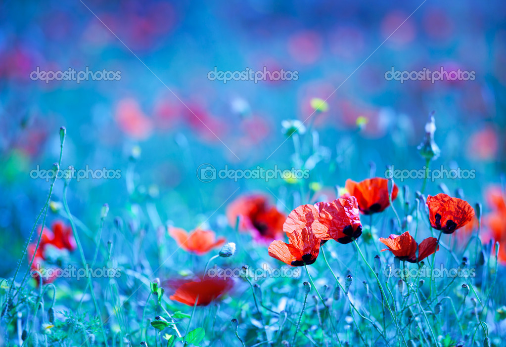 Poppy flower field at night