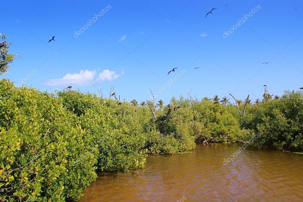 Frigate bird reproduction Contoy island mangrove