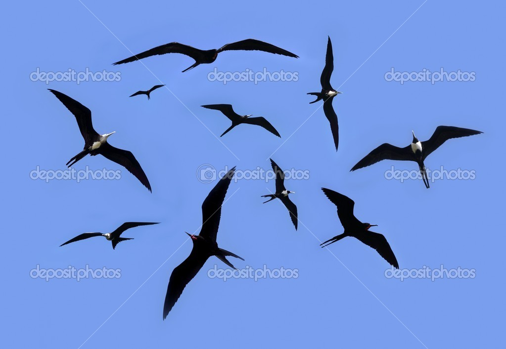 Frigate bird silhouette backlight breeding season