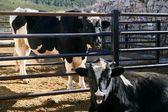 Fríský kráva pár jíst