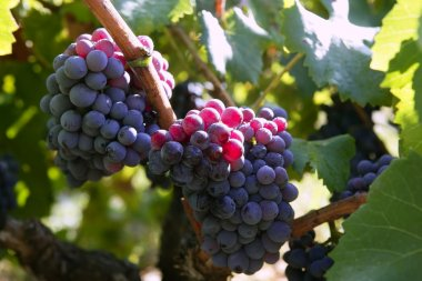 Black red grape for wine production in Spain