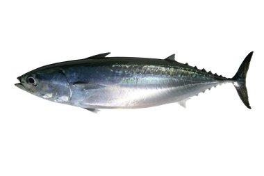 Auxis thazard saltwater frigate tuna fish