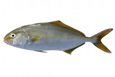 Seriola dumerili fish greater amberjack fish