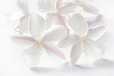 Jasmine flowers over white background
