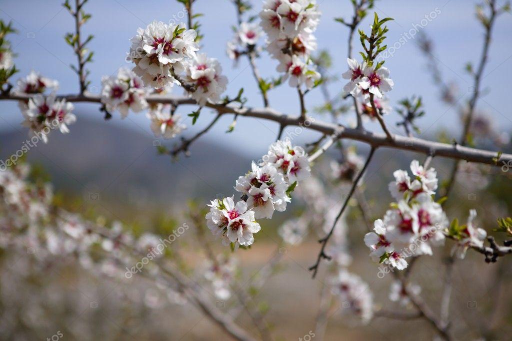 Mandel Blüte Bäume Feld rosa Blüten — Stockfoto © lunamarina #5506396