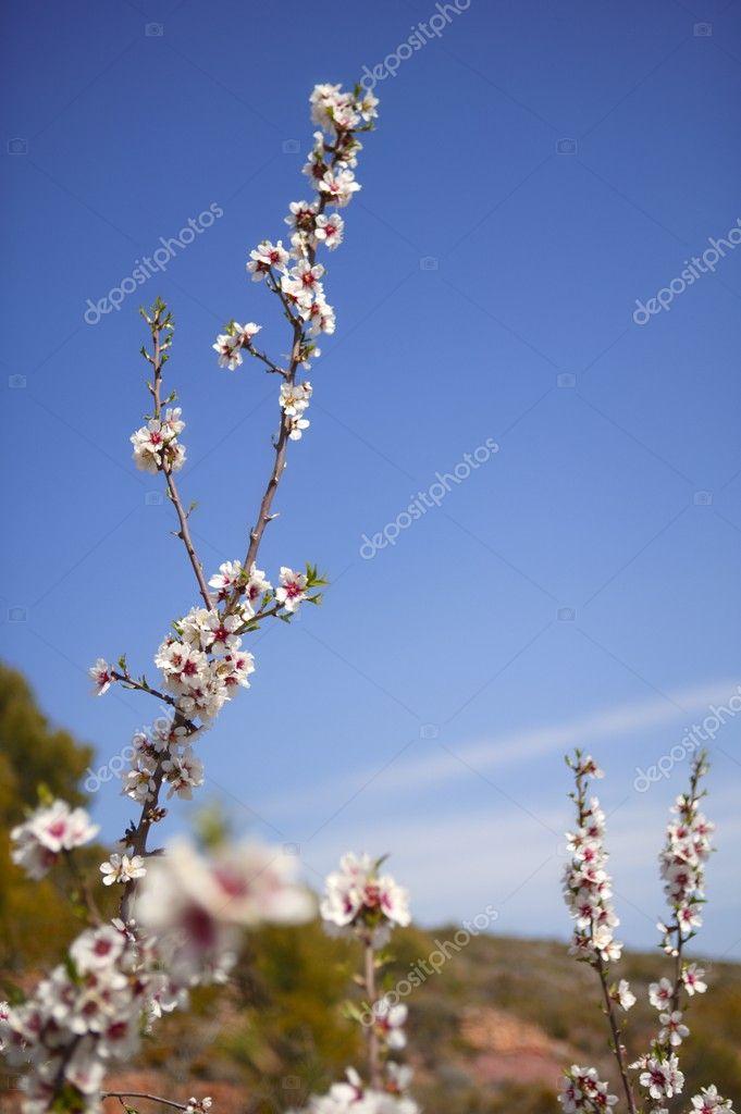 Mandel Blüte Bäume Feld rosa Blüten — Stockfoto © lunamarina #5506398