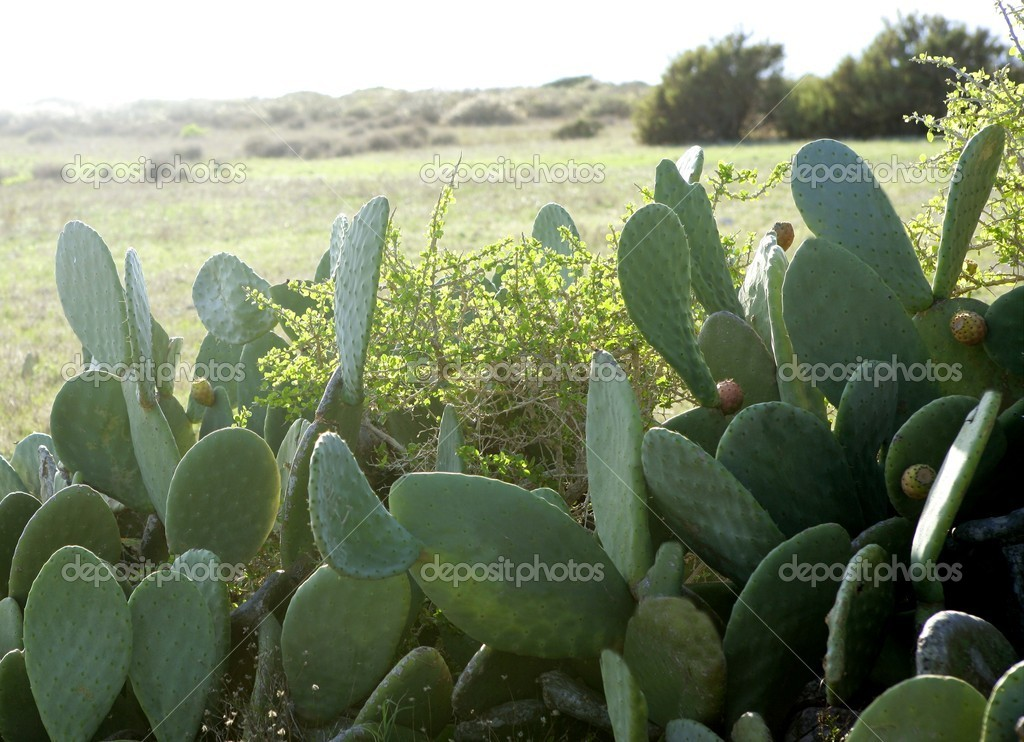 Nopal plant in the mediterranean area