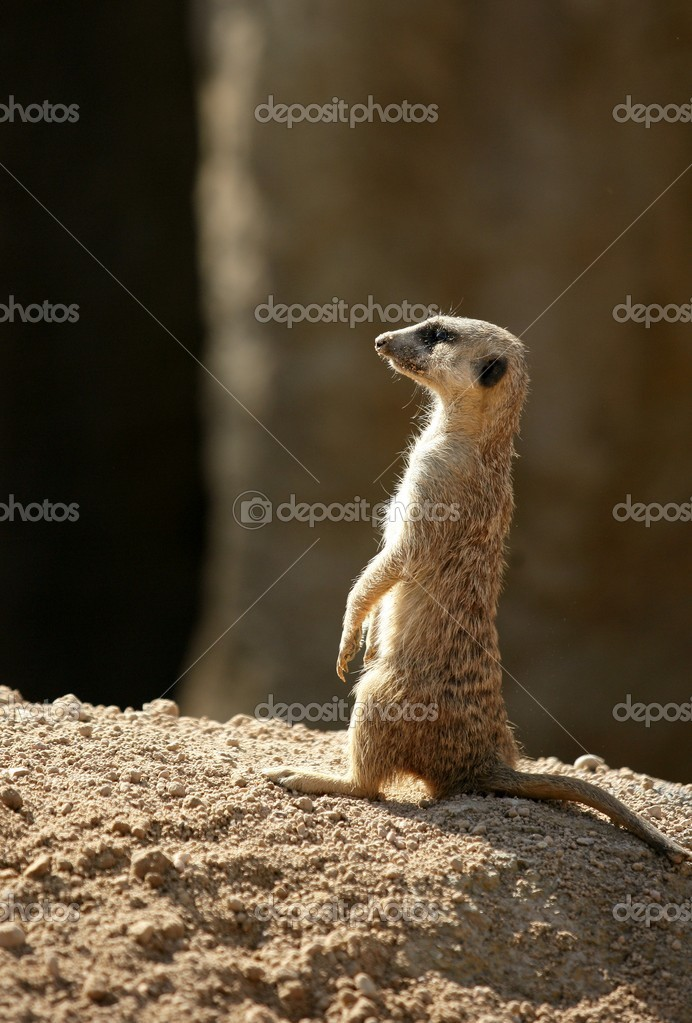 African suricata standing alert