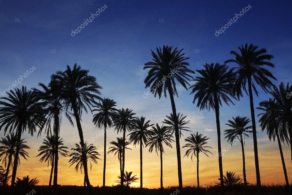 Palm trees sunset golden blue sky backlight
