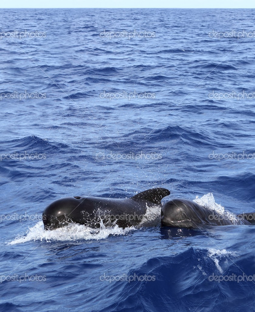 Pilot whales free with baby in mediterranean