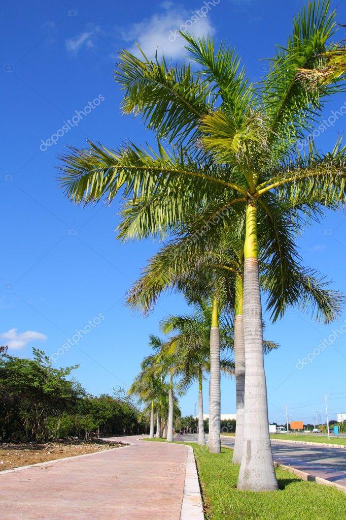 Fila di alberi di palma reale in strada giardino tropicale - Giardino tropicale ...