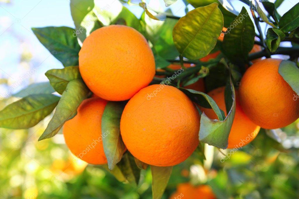 Branch orange tree fruits green leaves in Spain