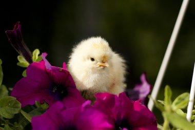 Chicken on a flower