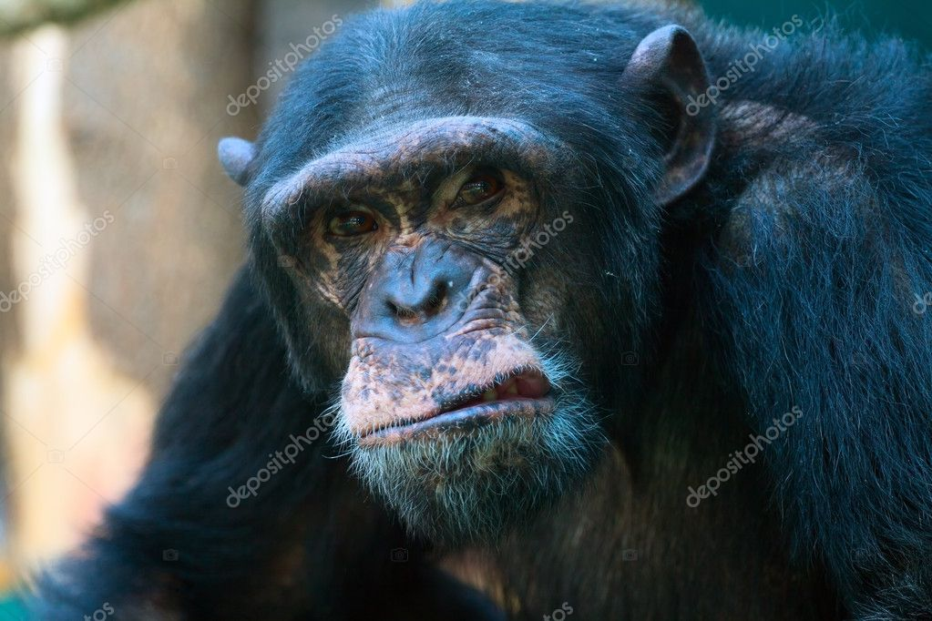 Closeup of angry chimpanzee