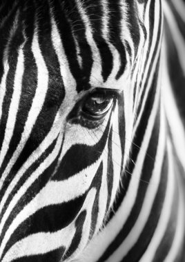 Artistic closeup portrait of a zebra - emphasized graphical pattern. stock vector