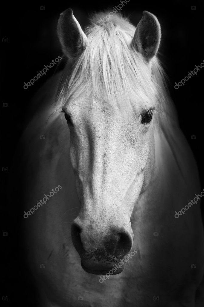 White horse potrait in black and white.