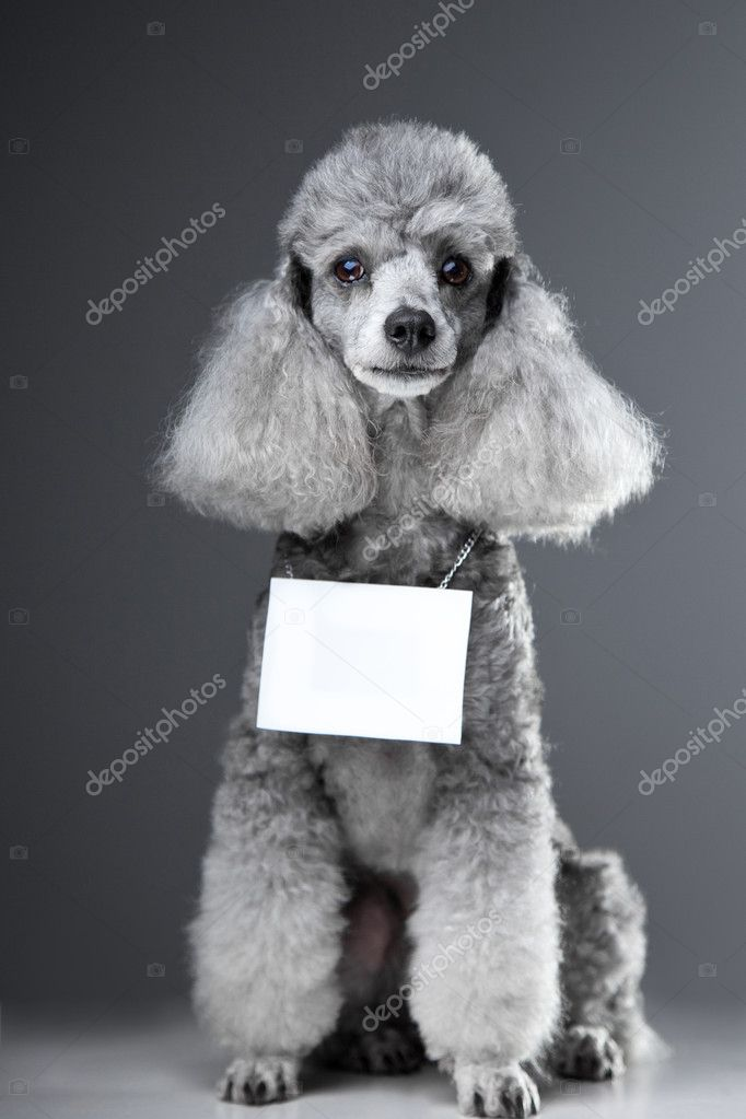 Gray poodle dog with tablet for text on grey stock photo tanitue portrait of sitting lovely gray poodle dog with tablet for your text here on grey background photo by tanitue voltagebd Choice Image