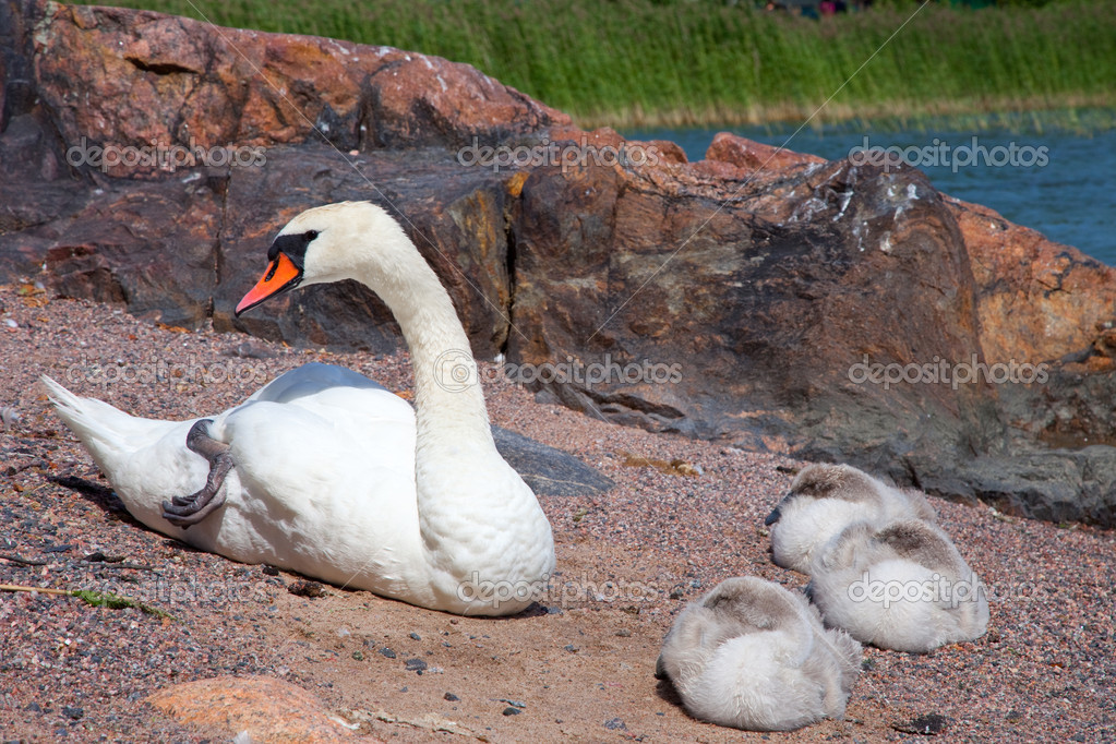 Swan with three baby birds having a rest