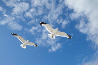 Sea Gulls in the blue sky
