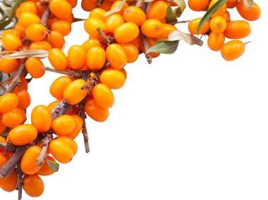 Branch of sea-buckthorn berries