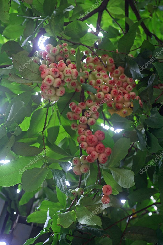 Fruit that numerous strong wax apple — Stock Photo