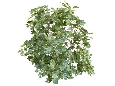 Fig or Ficus carica