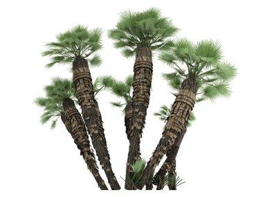European Fan Palm or Chamaerops humilis