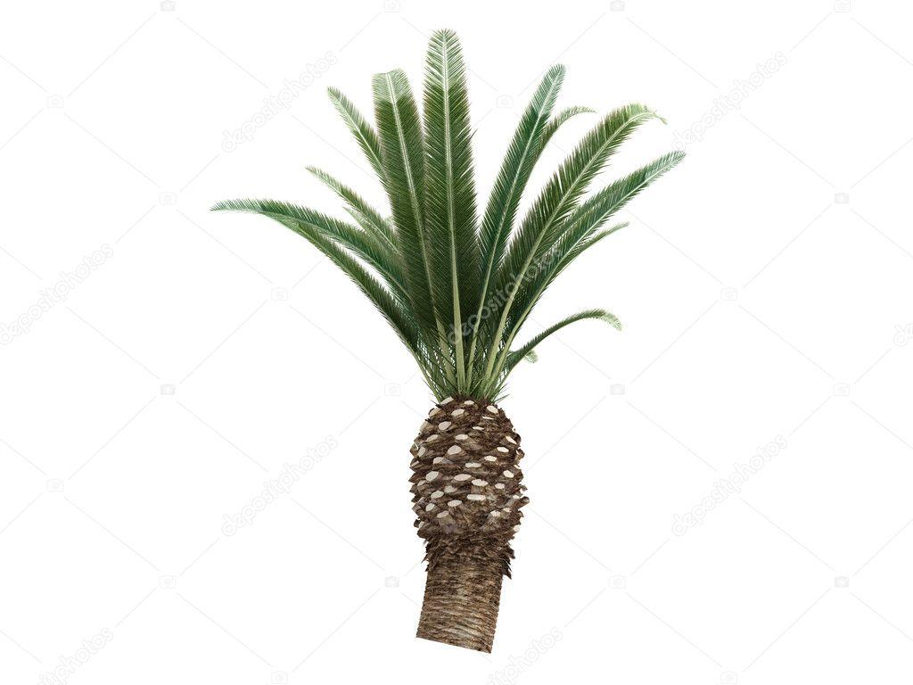 Date Palm or Phoenix canariensis