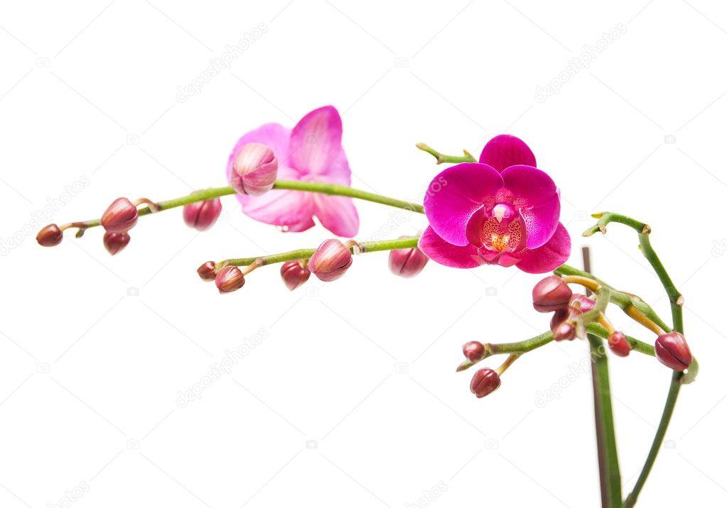 Orquídea. la rama de orquídeas con capullos de flores y flores ...
