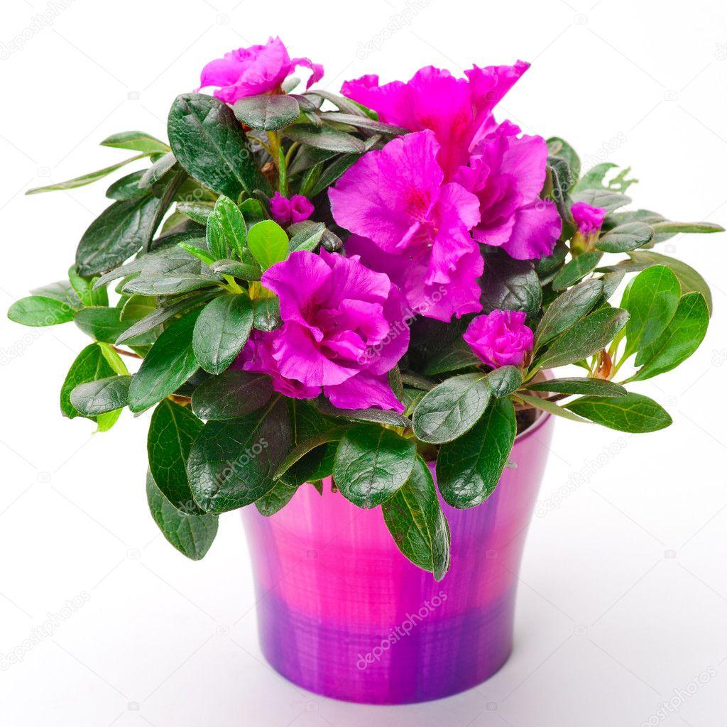 Blooming pink azalea in a purple pot