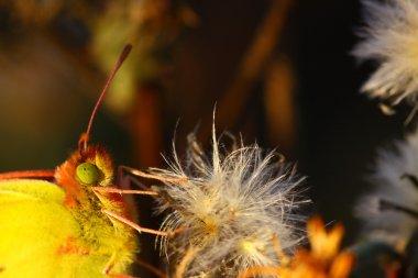 Colias crocea, le soucis