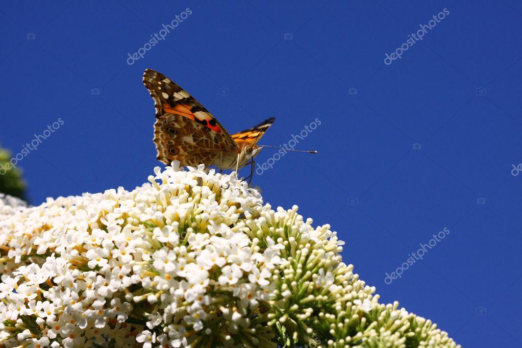 Butterfly cynthia cardui, la belle dame