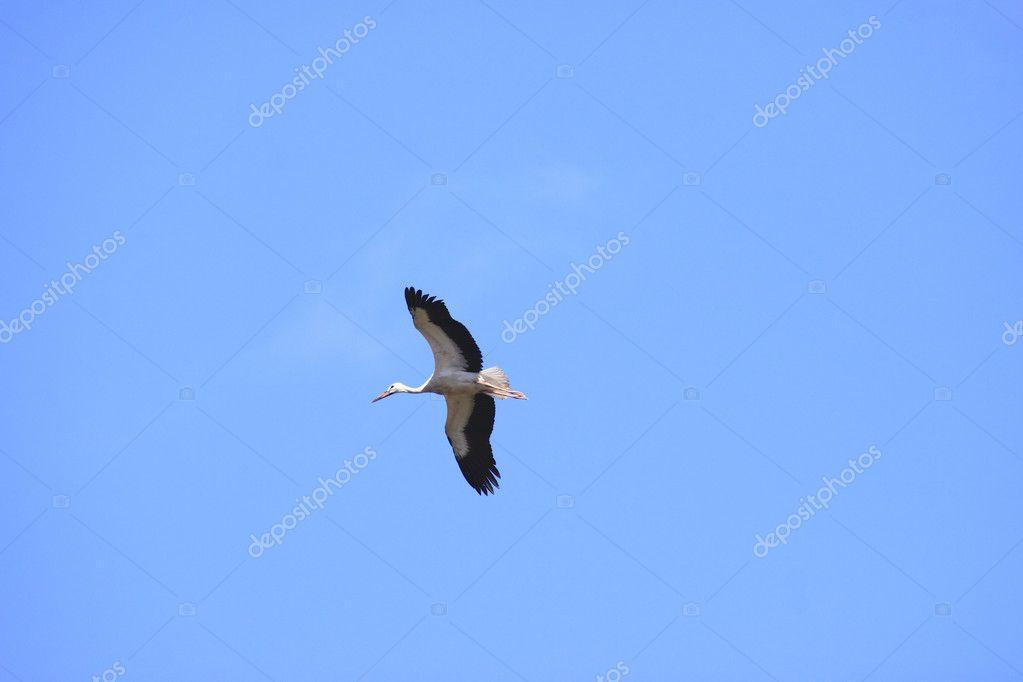grande cegonha voando em um céu azul stock photo chretien 6413989