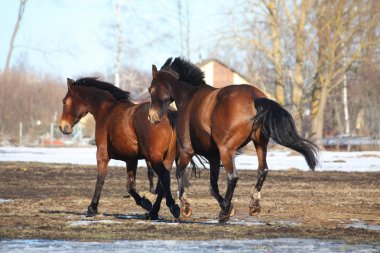 Two brown horses galloping away