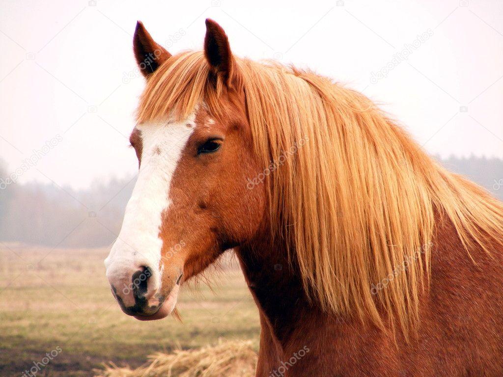 Palomino Draft Horse Close Up Of Palomino Draft Horse Stock Photo C Virgonira 5401938
